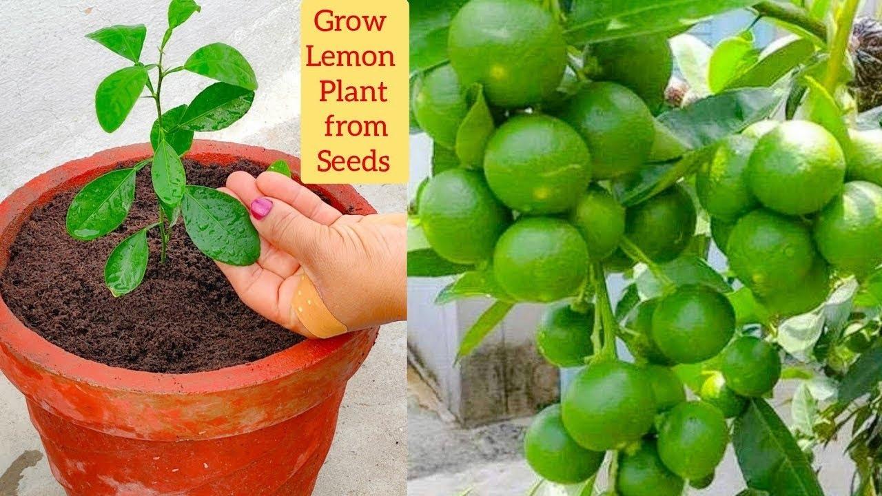 नींबू के पौधे में केवल एक बार यह चीज़ डाल दो नींबू फलों से लदा रहेगा Best Fertilizer for Lemon Plant