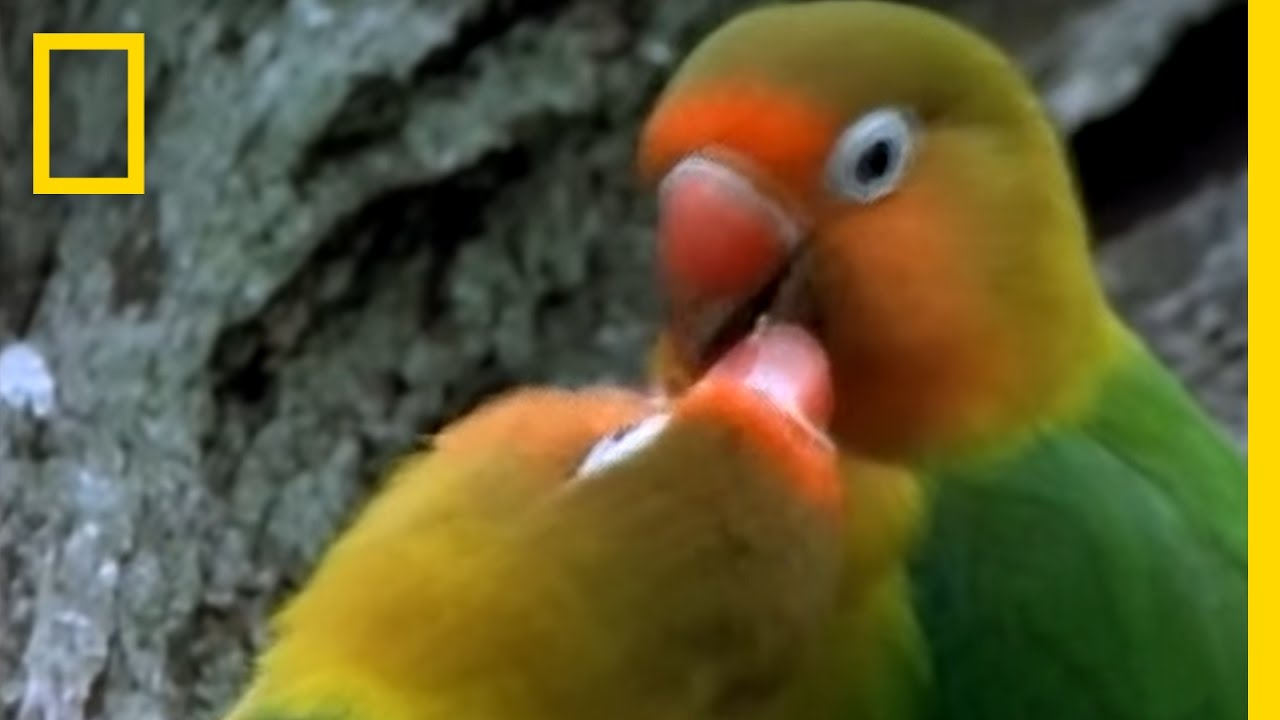 Birds Of Paradise Lovebirds National Geographic