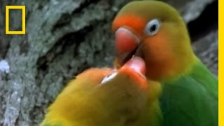 Birds of Paradise - Lovebirds | National Geographic