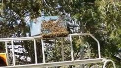 Roger McMaster, Yelm, Washington, Capturing a Honeybee Swarm