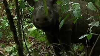 Saving the endangered species of Borneo: Sumatran Rhinos