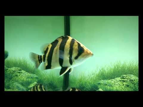 Cá Hổ 3 sọc và cá Rồng Thái Bình