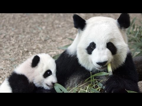 Giant panda no longer endangered