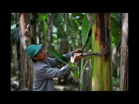 The Global Environmental Injustices of Banana Plantations