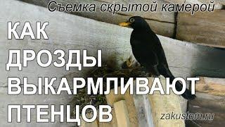 Жизнь птиц: чёрные дрозды выкармливают птенцов - The life of birds: Blackbirds feed nestlings