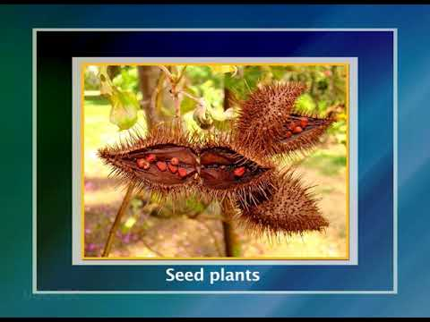 Convergence of Evolution of Tree Habit in gymnosperms, Monocots and Dicots.mp4