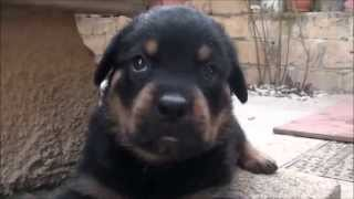 Rottweiler: Puppy Listen Some Sound Effect From Me