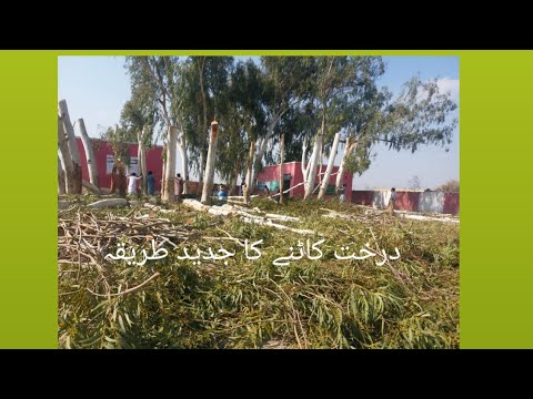 Cutting Of Trees In A Easy And Technical Way😉Vlog /Nomi Hashim/