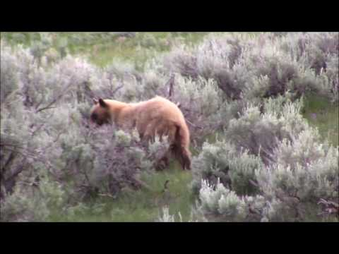 Look fast! Wildlife encounters in Yellowstone (bear cubs, moose, fox, grizzly)