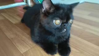 Кот Экзот Марсик играет, бегает и просто лежит