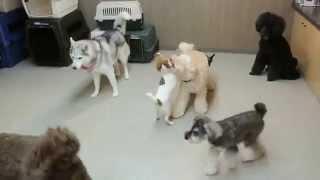犬のようちえん®広尾教室 www.inunositukekyousitu.com オーストラリア...