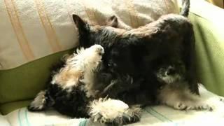 Wwe - Scottish Terrier And Schnauzer 蘇格蘭梗 大戰 雪納瑞