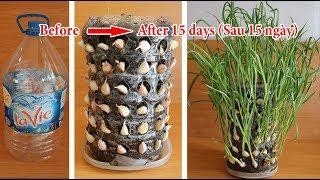 Cứ nghĩ trồng tỏi là khó, ai ngờ dễ không tưởng | Growing garlic is not difficult, but too easy
