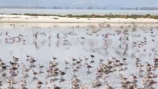 Bar-tailed godwits prepare for Migration at Miranda, New Zealand.
