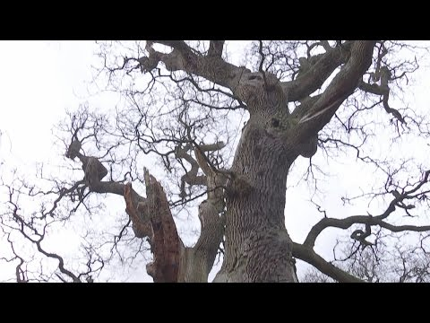 At nearly 1000 years old, the oldest collection of oak trees in Europe has been discovered