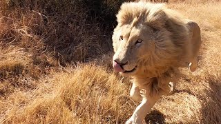 Thor's Pride: Behavioural Changes from Cubs to Adults | The Lion Whisperer
