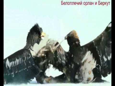 Орлан белоплечий -