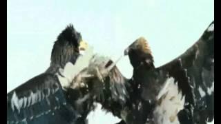 Белоплечий Орлан vs Беркут