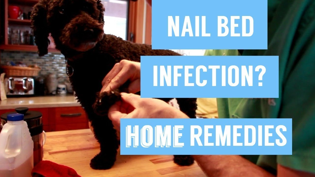 dog nail infection 7 holistic