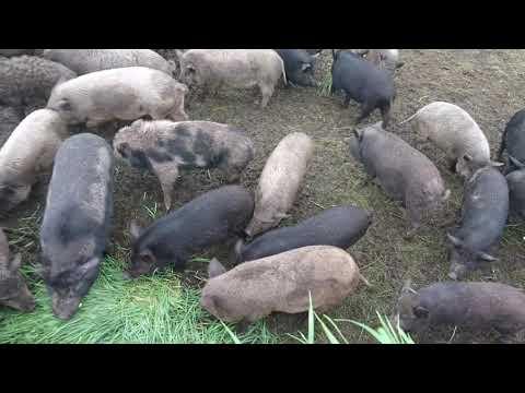 Свиньи на траве и зерноотходе  на мясо без химии Украина Харьков 0675736455