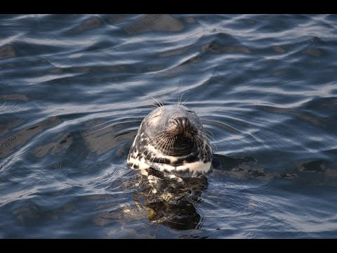 Beautiful seal, Gairloch Scotland
