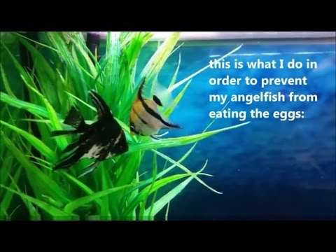 Angelfish Breeding: How To Prevent Angelfish From Eating Their Eggs