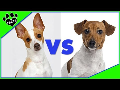Jack Russell Terrier vs. Rat Terrier - Which is Better? Dog vs. Dog