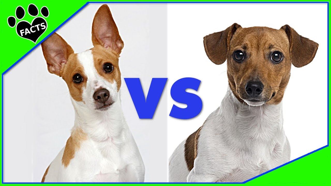 Jack russell terrier vs rat terrier which is better dog vs dog youtube - Jack russel queue coupee ...