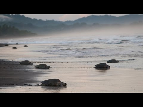 Sea turtles nesting by the thousands in Costa Rica
