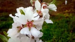 flores de almendro vario