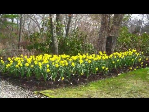 Mass Planting Of Daffodils 2016 Youtube
