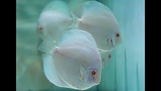 Аквариум для начинающих Выкармливаем мальков дискуса Aquarium for beginners Feed fry discus