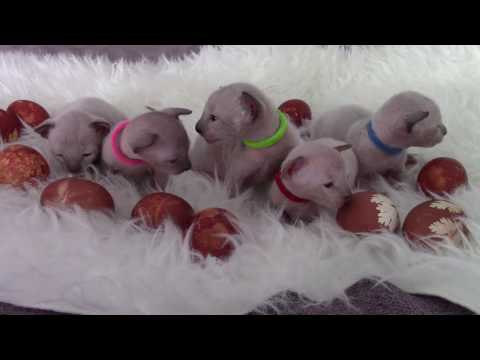 Kittens and Easter Eggs - 2 weeks old Cornish Rex kittens