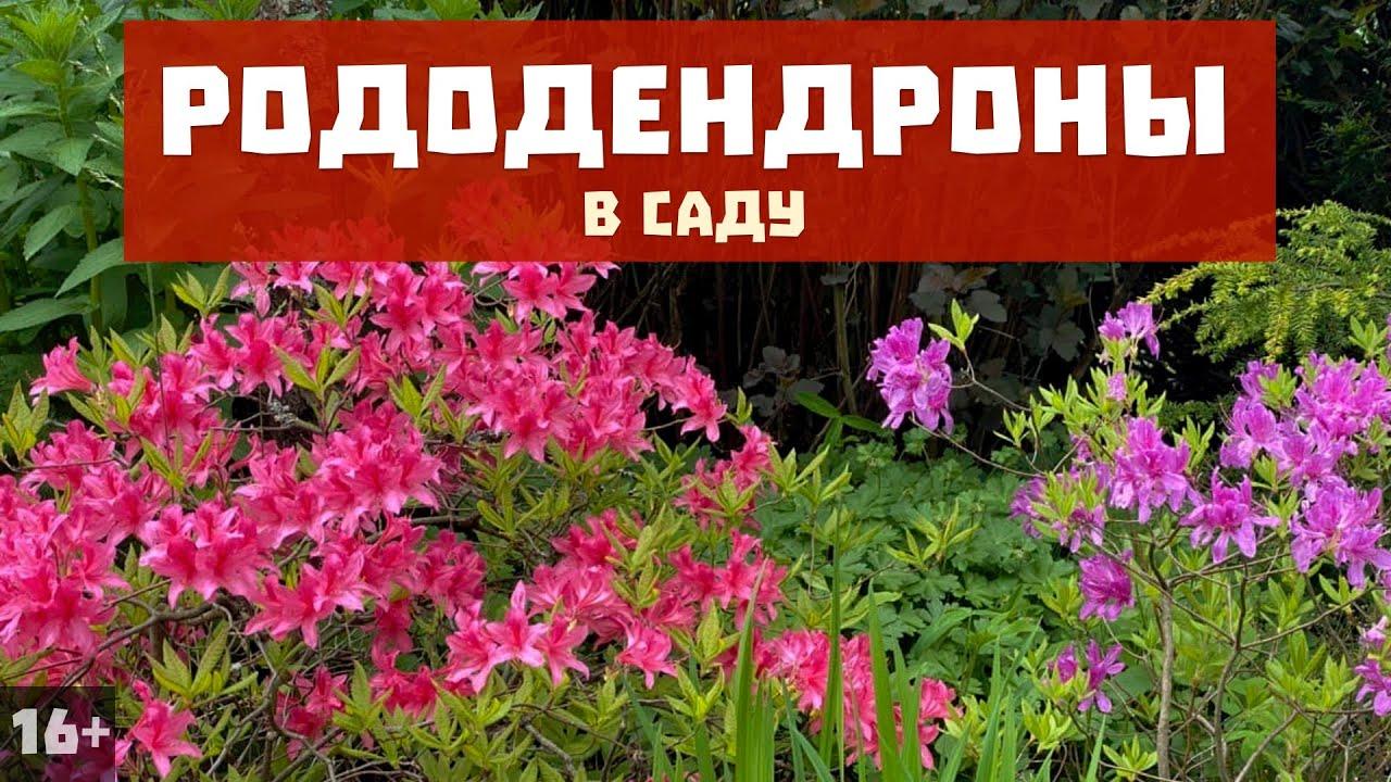 Обзор рододендронов в саду