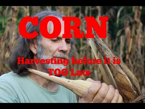 Havesting Corn Before It Is TOO Late!!   Danny Corn