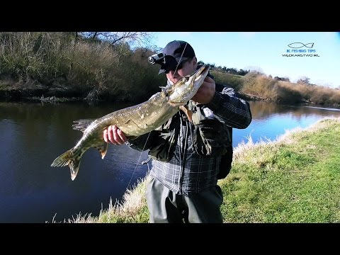 Szczupak 82 cm | C&R Quick Fishing Adventures | River Barrow