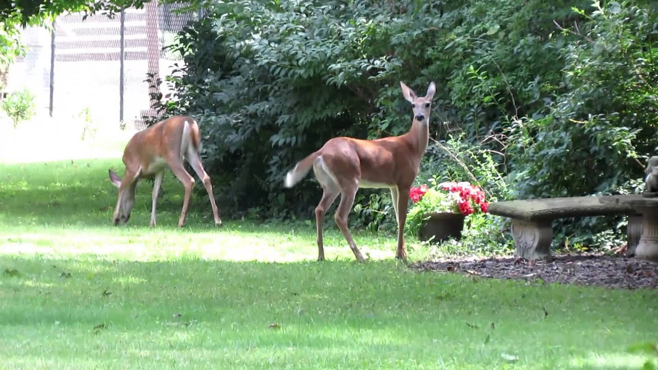 Whitetail Deer Galloping In The Backyard