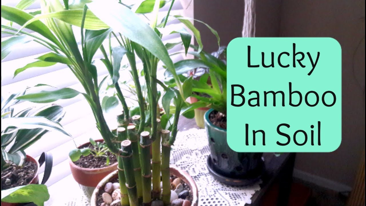 Lucky Bamboo Repotting Into Soil Care