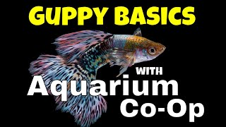 The Basics for Keeping and Breeding Guppies - Aquarium Co-Op Highlights