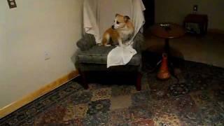 Boxer/pug Mix