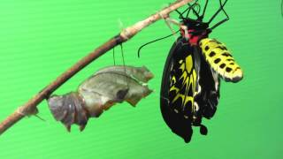 在寶貝王國幼兒園種植蝴蝶食草十多年來首次發現國寶級的黃賞鳳蝶來此定...