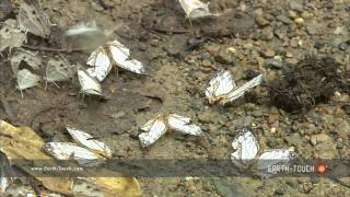 Hundreds of butterflies gather for a feast