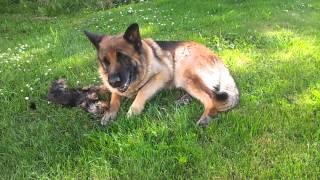 Yorkshire Terrier Elvis Having Fun With German Shepherd Tara