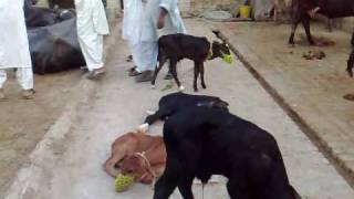 NEW DELIVERY OF BUFFALOS ARRIVING IN WAISA ATTOCK