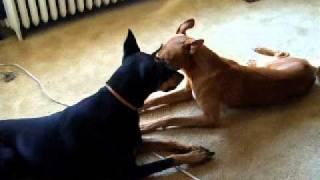 Doberman pinscher and Pharaoh hound ドーベルマン と ファラオ ハウンド