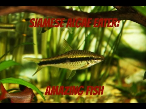 Siamese Algae Eater Amazing Fish