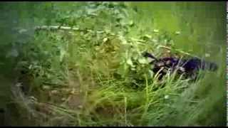 собака убийца Дара(6мес) заламывает деревище))