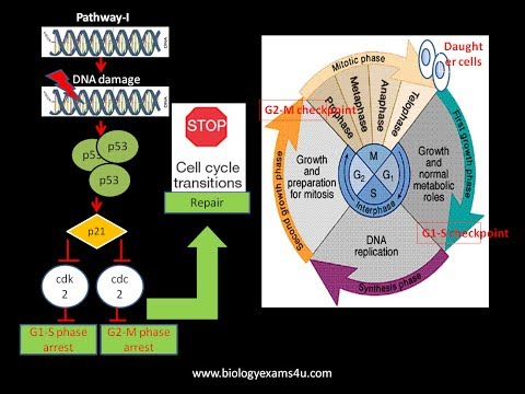 p53 and Cell cycle arrest