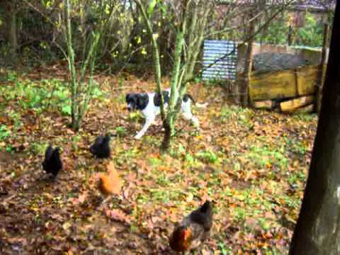 How Hunting Dog English Pointer Stalked the Hens – Did She Catch Them?