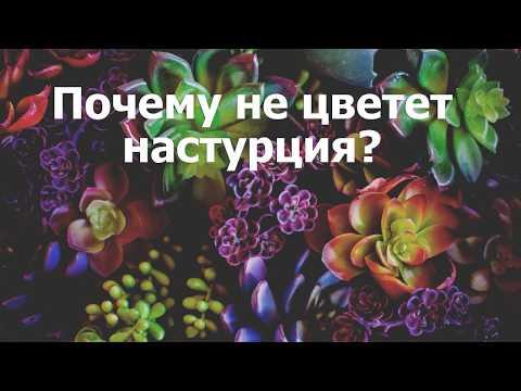 Почему не цветет настурция?